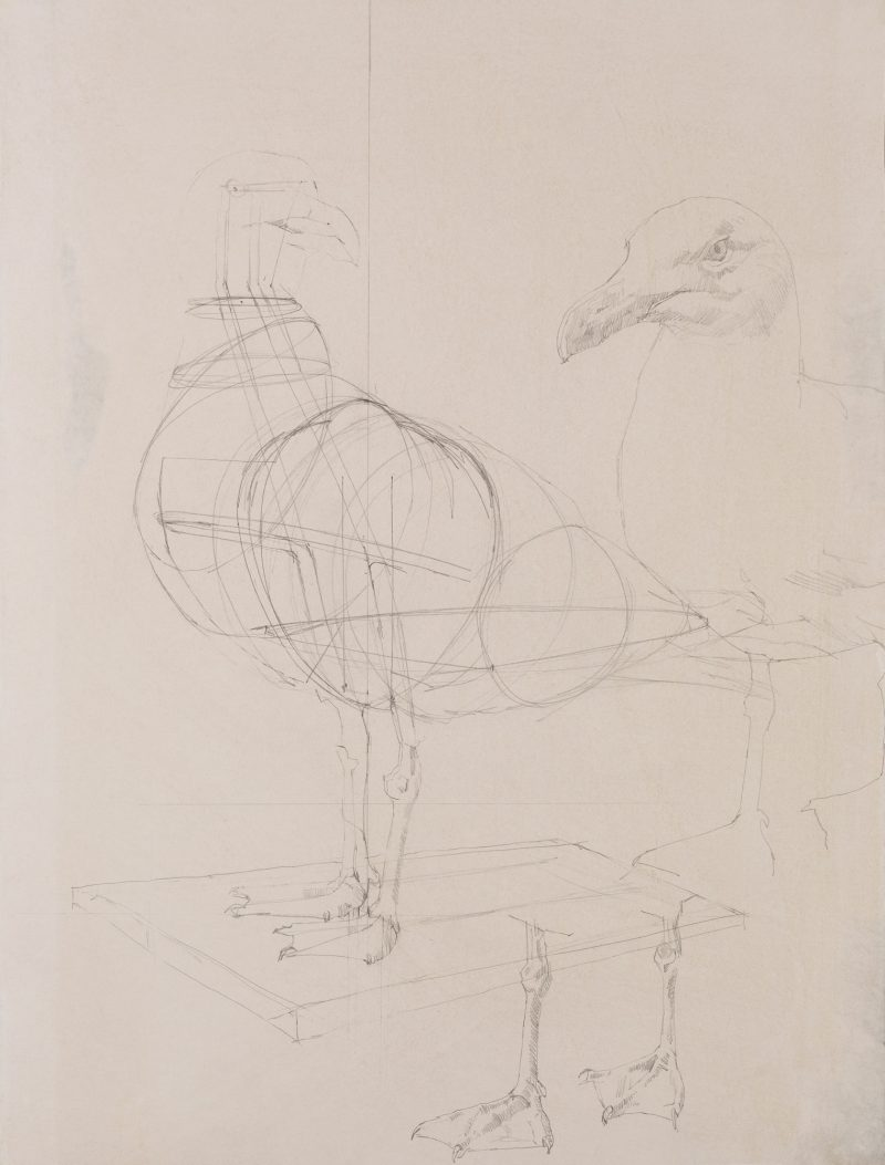 <p>Gull Armature, pencil, 62 x 48cm</p>