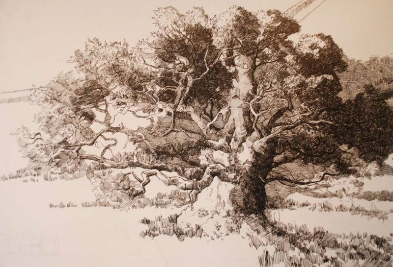 <p>Kentchurch Oak, ink, 50 x 40cm</p>