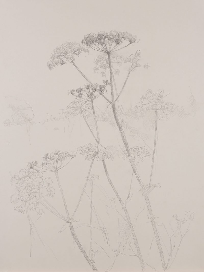 <p>Nature Table, Cow Parsley, pencil, 64 x 48cm</p>