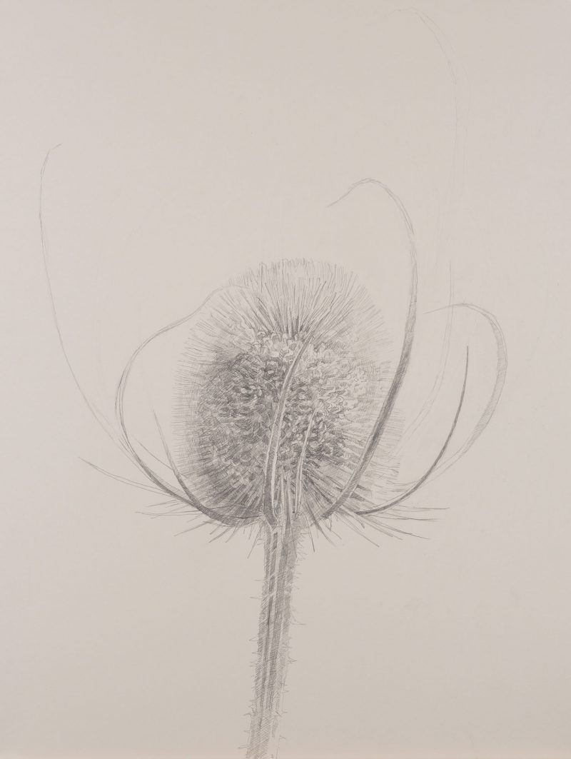 <p>Nature Table, Large Teasel, pencil, 64 x 48cm</p>