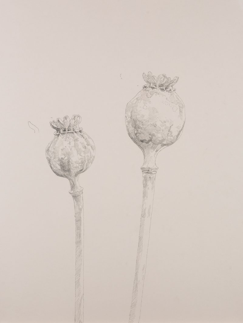 <p>Nature Table, Poppy Seed Heads, pencil, 64 x 48cm</p>