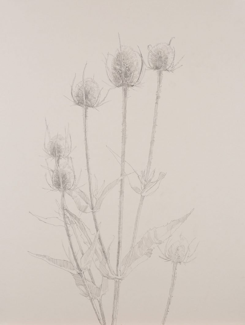 <p>Nature Table, Teasels, pencil, 64 x 48cm</p>