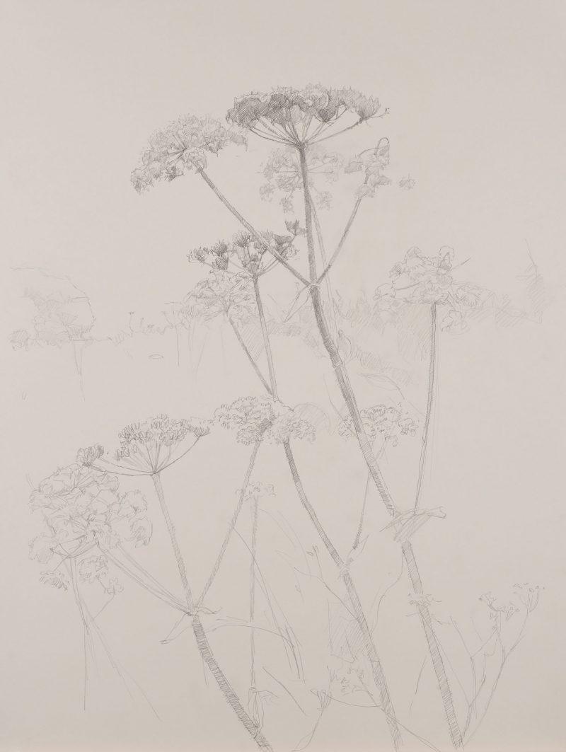 <p>Nature Table, Cow Parsley, pencil, 64 x 48cm</p>