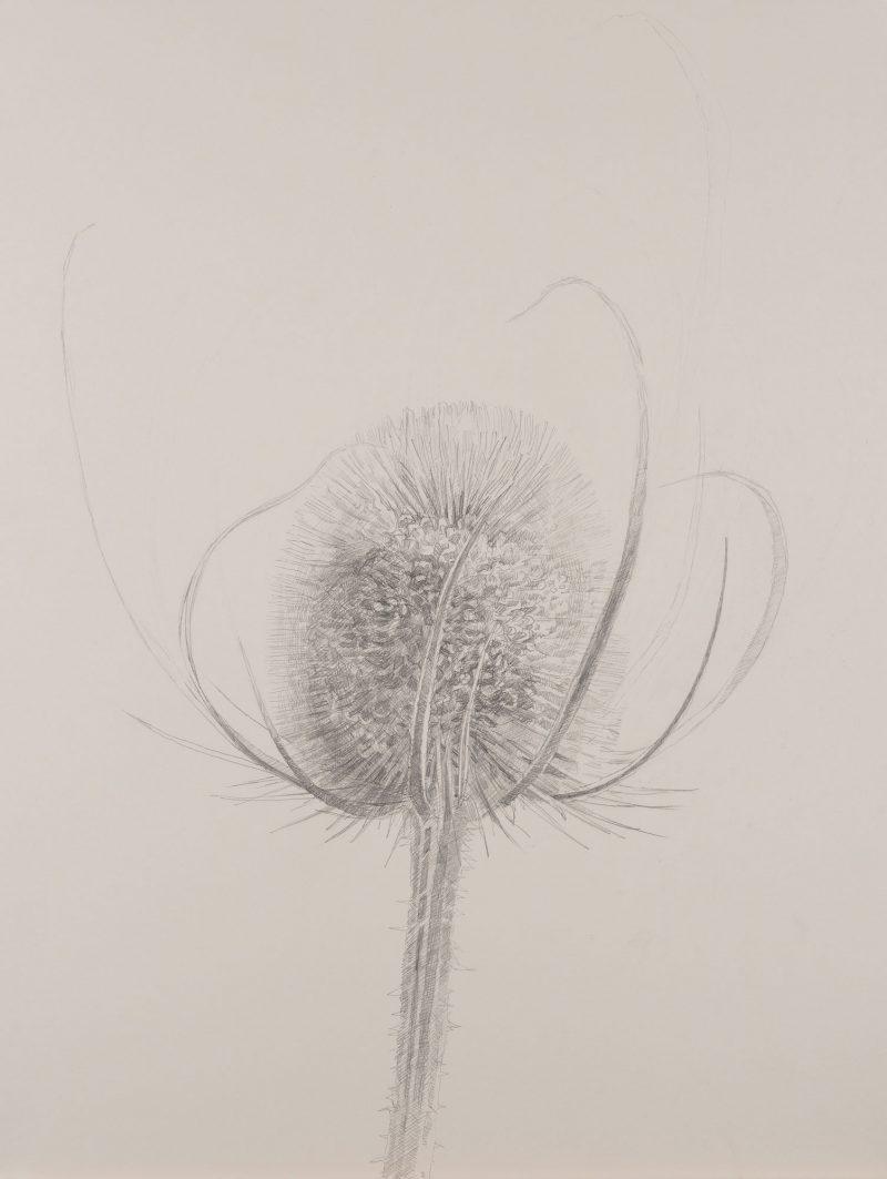 <p>Nature Table, Large Teasel, pencil, 64 x 48cm</p>