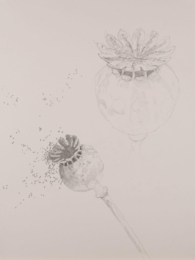 <p>Nature Table, Poppy Seeds, pencil, 64 x 48cm</p>