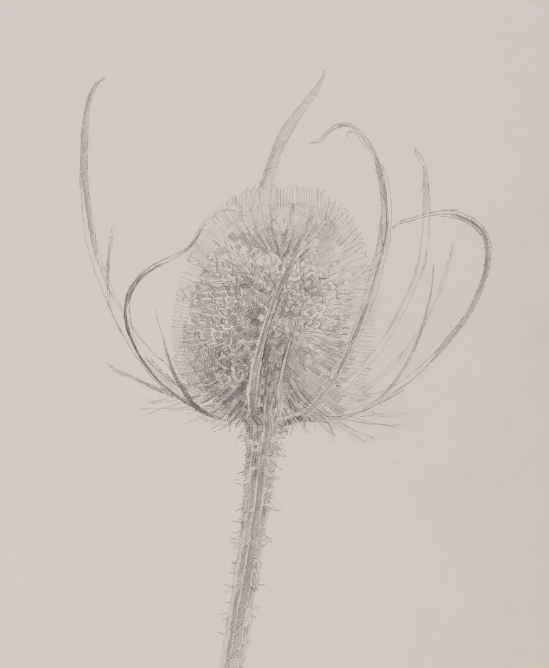 <p>Nature Table, Small Teasel, pencil, 40 x 32cm</p>