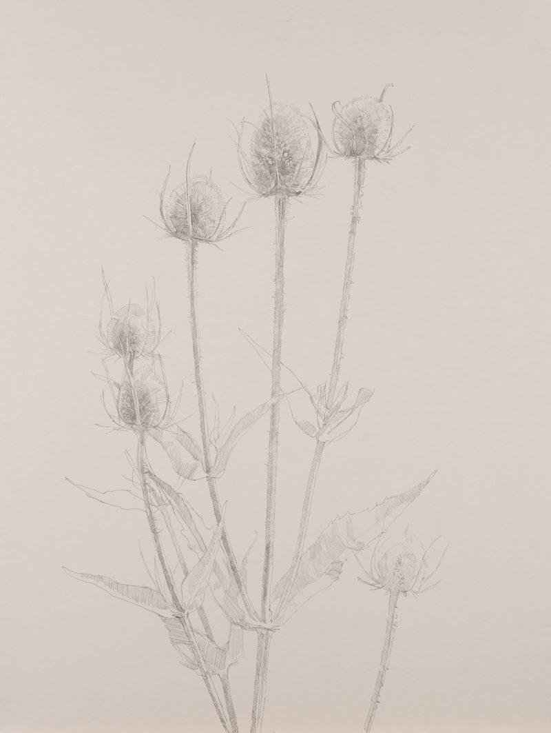 <p>Nature Table, Teasels, pencil, 64 x 48cm</p>